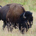 Bison@Yellowston